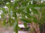 Ochna afzelii subsp. congoensis