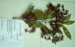 Rhabdophyllum welwitschii