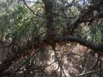 Commiphora pteleifolia