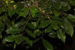 Lepidotrichilia volkensii