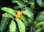 Dichapetalum heudelotii var. heudelotii