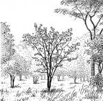 Erythrina sp. 1