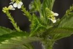 Caperonia fistulosa