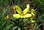 Lactuca calophylla