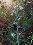 Berkheya bipinnatifida subsp. echinopsoides var. echinopsoides