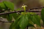 Rytigynia monantha var. monantha