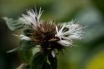 Virectaria major subsp. major