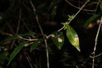 Tricalysia verdcourtiana
