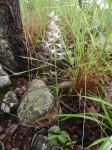 Holothrix longiflora