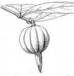 Rothmannia whitfieldii