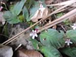 Streptocarpus rhodesianus