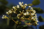 Clerodendrum johnstonii