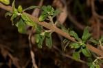 Leonotis myricifolia