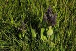 Plectranthus viphyensis subsp. zebrarum