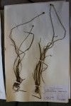 Xyris anceps var. anceps