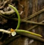 Nephrangis filiformis