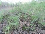 Drimia delagoensis