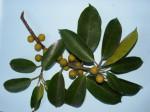 Ficus ardisioides subsp. camptoneura