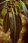 Ficus usambarensis