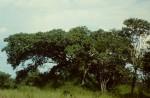 Ficus wakefieldii