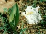 Siphonochilus longitubus