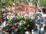 Aloe milne-redheadii