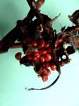 Gloriosa sessiliflora