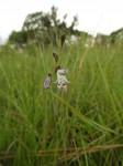 Gladiolus gracillimus