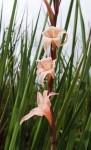 Gladiolus muenzneri