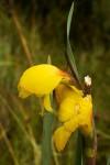 Gladiolus velutinus
