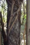 Ficus polita subsp. polita