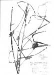 Scleria iostephana