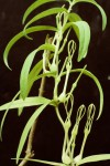 Ceropegia achtenii subsp. adolphii