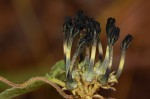 Ceropegia papillata
