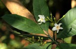 Tabernaemontana pachysiphon
