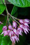 Clerodendrum umbellatum