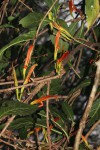 Anisotes sessiliflorus