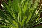 Lobelia mildbraedii
