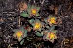 Euphorbia daviesii