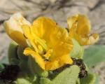 Alectra dunensis