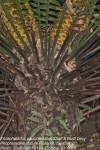 Encephalartos paucidentatus