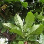 Lettowianthus stellatus