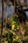 Plectranthus daviesii