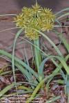 Cyperus crassipes