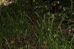 Carex chlorosaccus