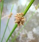 Schoenoplectus confusus var. rogersii