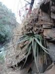 Aloe mkushiana