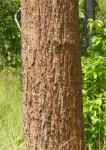 Erythrina sacleuxii