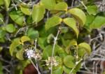 Warneckea sansibarica var. sansibarica
