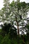 Ficus mucuso
